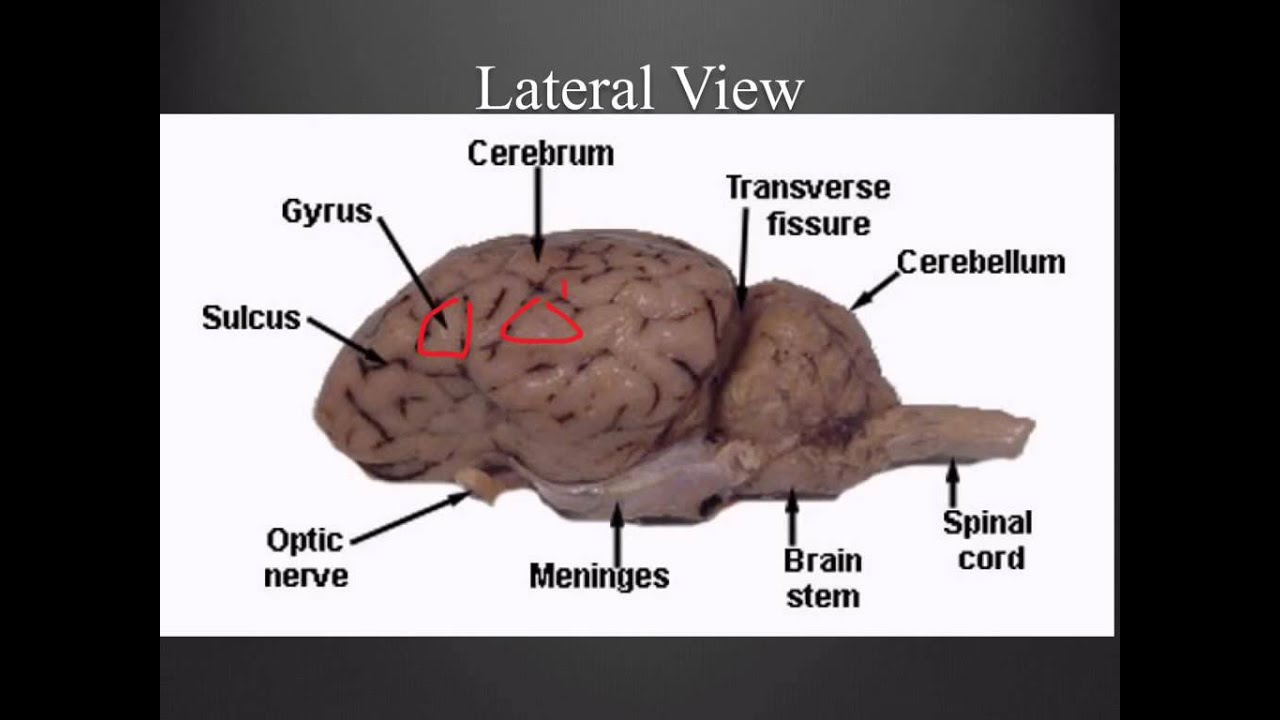 Sheep Brain Anatomy Diagram - ( Simple Electronic Circuits ) •