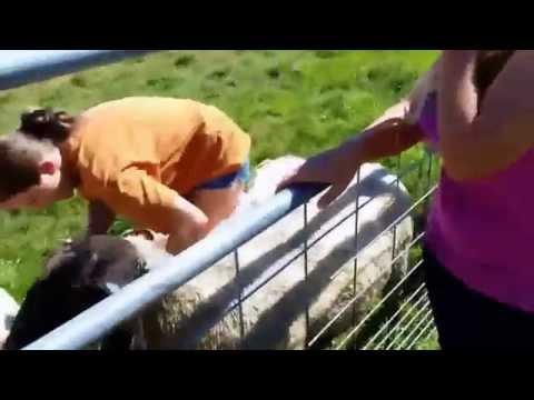 Start Of Sheep Breeding Season
