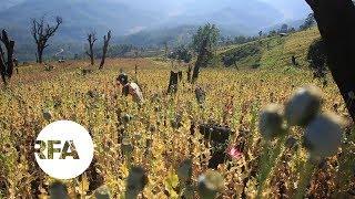 Myanmar's Opium Farmers Cling to Lucrative Crop | Radio Free Asia (RFA)