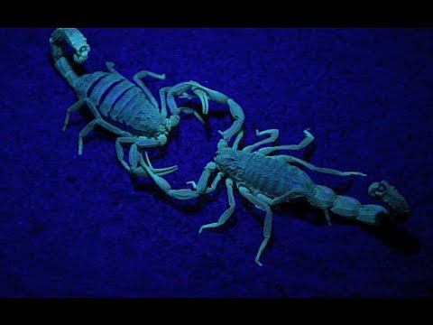 Scorpion's Mating Dance