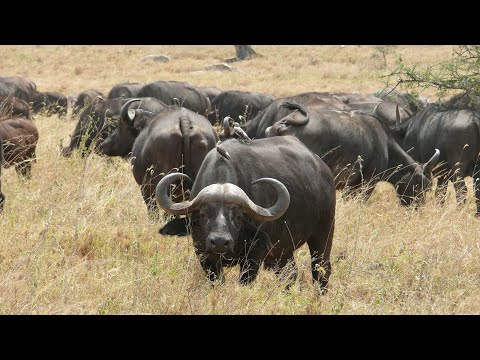 The African Cape Buffalo Sounds