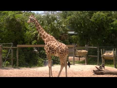 Thumbnail: Giraffe's, Zebra's and Elephants's at Lowry Park Zoo