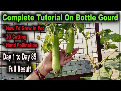 How To Grow Bottle Gourd In Pot And Get 100% Result Ll How To Hand Pollinate A Gourd L लौंकी का पौधा