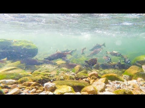 Kokanee Spawning Huntington Lake