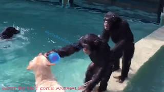 Baby SNOW Monkeys are SWIMMING with Chimpanzees, Dogs and Tigers