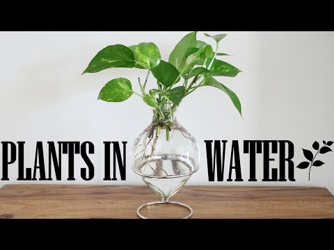 Pothos or Money Plant in Water Vase | Plants in Water