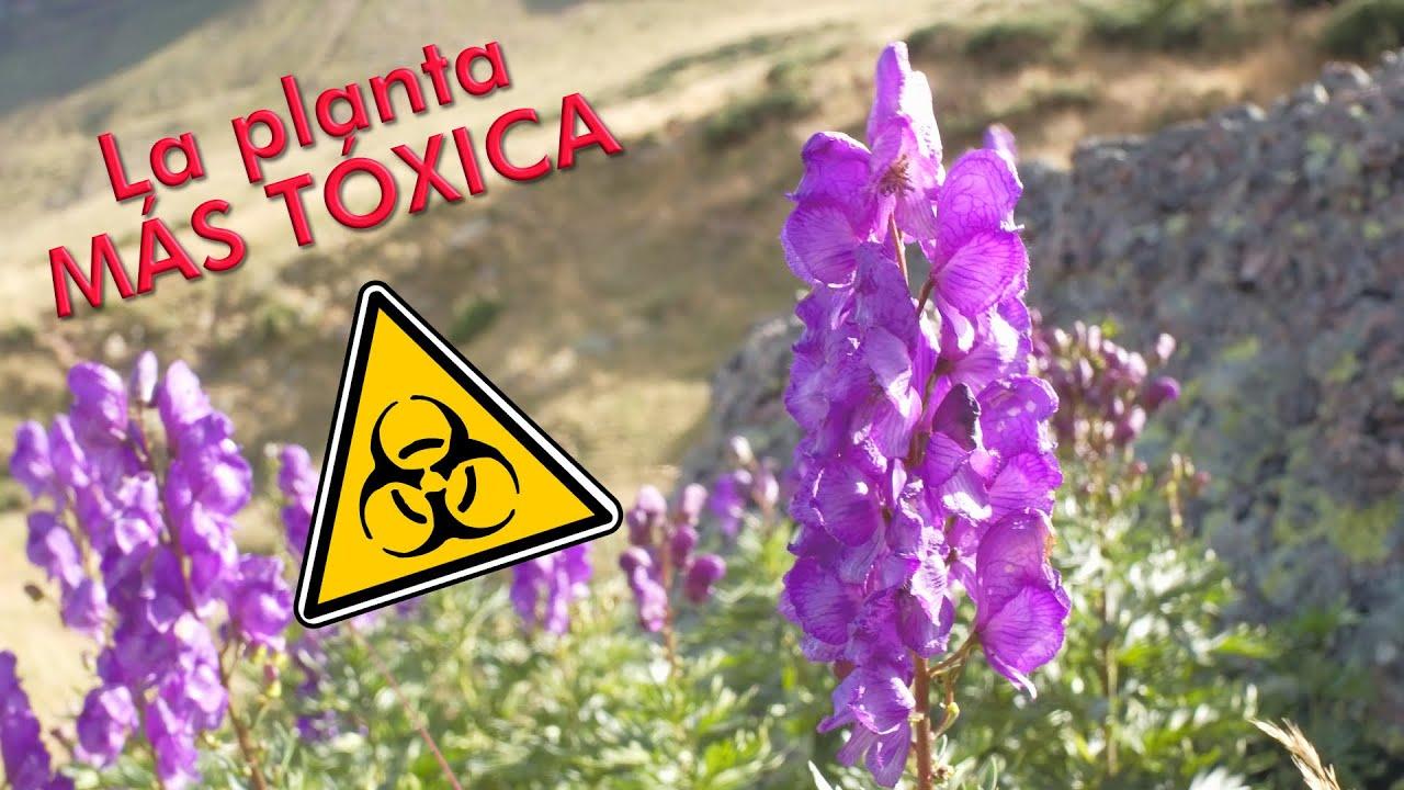 El acónito. La planta MAS TÓXICA de Europa. (Aconitum napellus), piojera o matalobos.