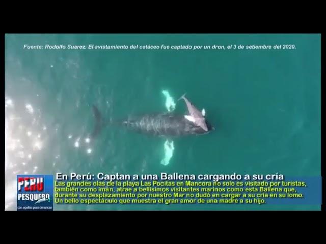 En Perú: Captan a una Ballena cargando a su cría