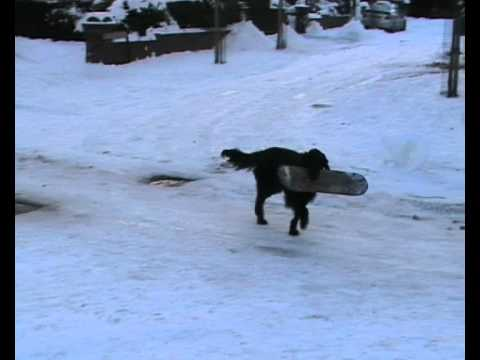 Flatcoated Retriever  Frankie  Winter Training!!!