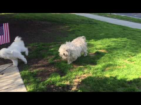 Samson & Petunia -Puli playing to colors of the wind