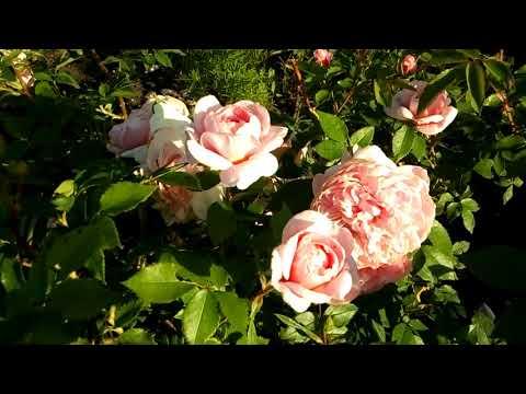 Казино роза плетистая энциклопедия роз