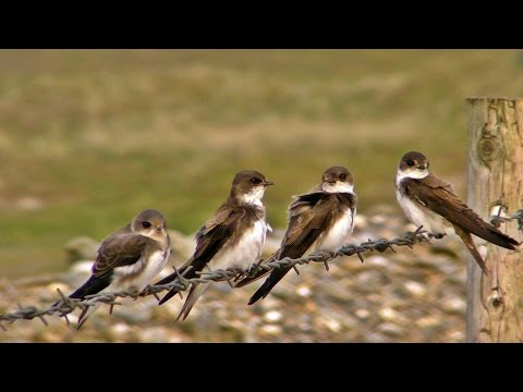 Sand Martin Colony at The St Ives Bay in Cornwall - Sand Martins or Bank Swallows