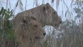Safari Live : The Nkuhuma Pride with all the Cubs on drive with Tristan May 26, 2017 thumbnail