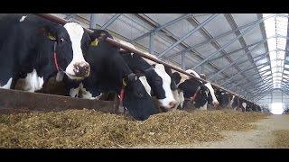 Hodowla bydła mlecznego - PR Długie Stare