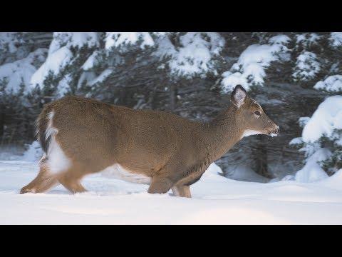 Whitetail Deer Hunting Trip, Anticosti 2016