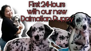 First 24 hours with our new Dalmatian Puppy