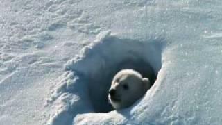 Белые медведи - мелодия любви