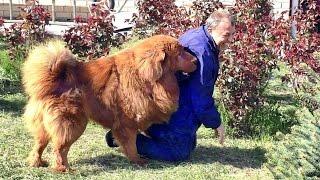 С Галсаном шутки плохи! Тибетский Мастиф 2 года. Male Tibetan Mastiff 2 years.