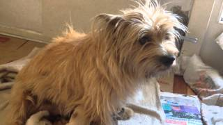 Cairn Terriers Puppies - 11 Days