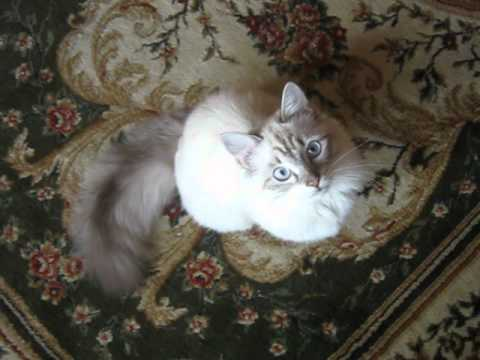 Говорящий кот. Невский маскарадный кот.