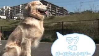 ゴールデンレトリバー(オス・9歳)のラブちゃんと、ビーグル(メス・6歳)...