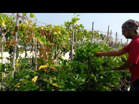 Garden Update and surprise harvest (colocasia esculenta)!