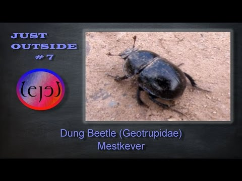 Dung Beetle (Geotrupidae) Mestkever - JUST OUTSIDE #7