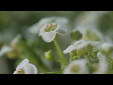 music-massage-|-white-wild-flower-|-relaxing-music-|-sleep-music-|-meditation-music