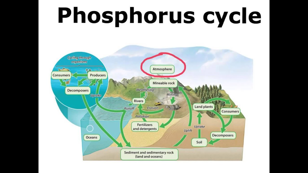 Phosphorus Cycle - YouTube