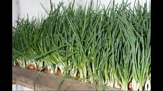 Огород на подоконнике! Лук на зелень! Простой салат с зеленым луком!