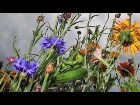 Feldblumen Walzer, Vals Flori de Camp, Wild Flowers Waltz, by Iosif Ivanovici