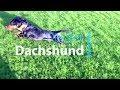 Slow motion study: Dachshund Dexster running and sprinting / Dackel rennt in Zeitlupe