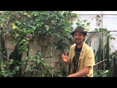 The Benefits of Passion Flower    Harmonic Arts