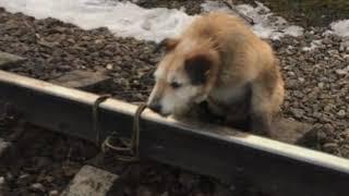 Собаку привязали к рельсам  Чтобы ее сбил поезд
