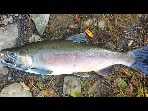 EPIC Salmon Fishing   2020 Pulaski New York Salmon Run  