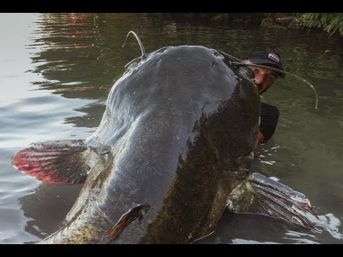 8ft, 250lb monster catfish caught on Rhone river, France