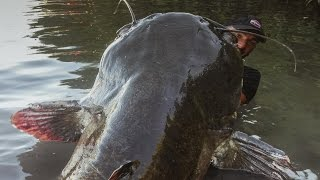 INCREDIBLE HUGE CATFISH 8,5 FEET - 250 LBS - HD by YURI GRISENDI thumbnail