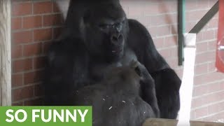 Gorilla makes faces at dad, then the unexpected happens