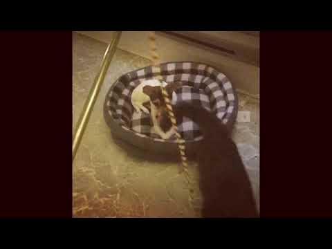 Maine Coon & Chihuahua