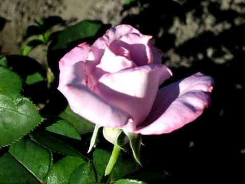 Роза Блу Мун