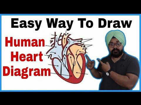 how to draw human heart class 10   मानव हृदय का चित्र कैसे ...