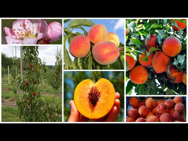 Колоновидные зимостойкие персики для Средней полосы и не только!