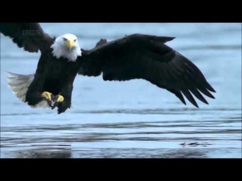 Adler Jagd große fische . Subhan Allah