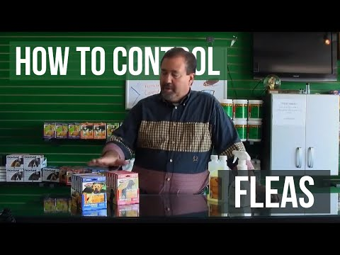 How to get rid and kill of fleas