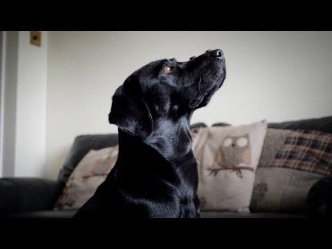 25 Labrador Tricks