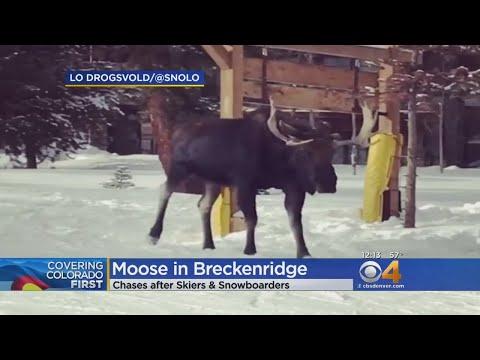 BEARDO - Moose Chase In Breckenridge