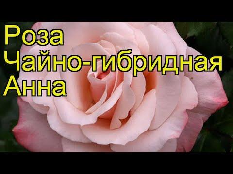 Роза чайно-гибридная Анна. Краткий обзор, описание характеристик, где купить саженцы Anna