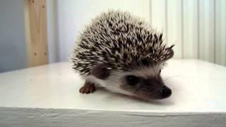 Video African Pygmy Hedgehog Baby 7 weeks old download MP3, 3GP, MP4, WEBM, AVI, FLV Juni 2018