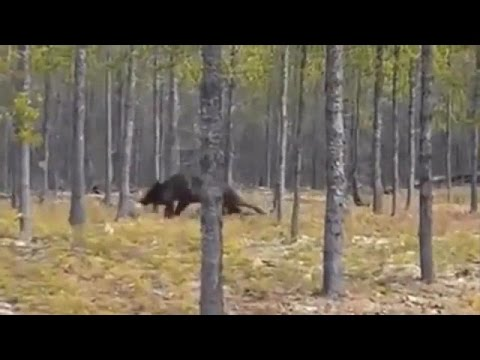 Huge Wolf Attacks Dog