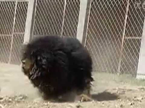 Tibetan Mastiff Strength